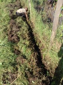 planting bouganvilla